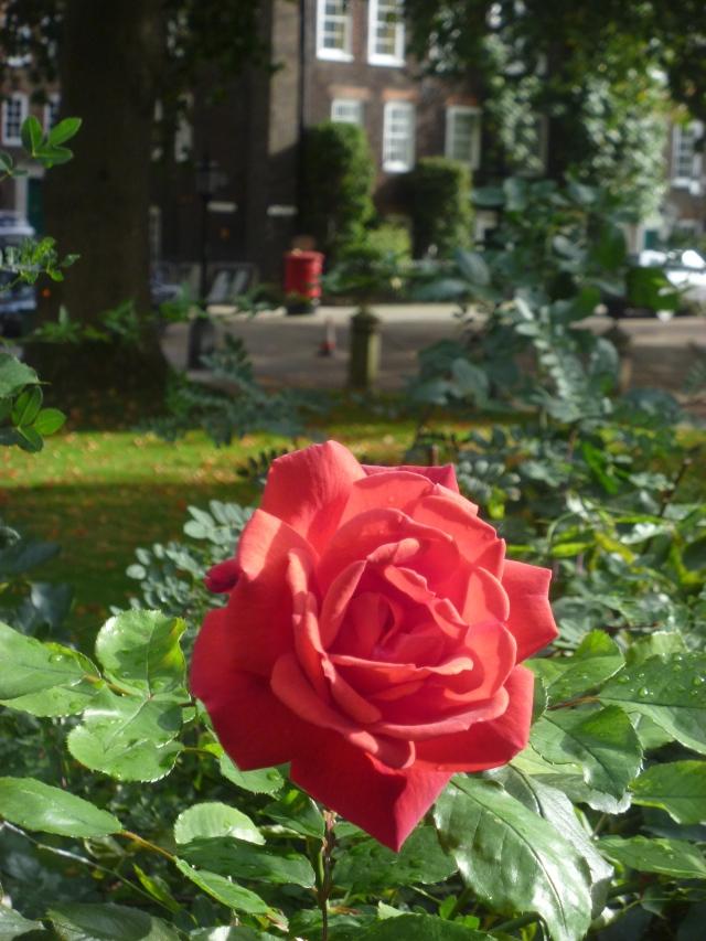 Lincoln's Inn rose