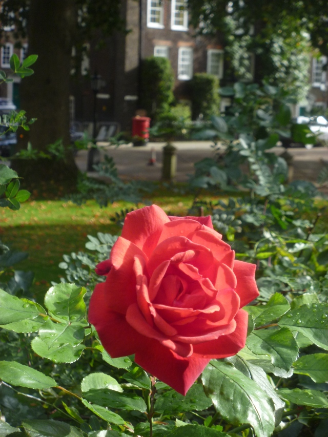 Lincoln's Inn rose