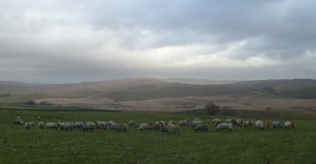 Sheep match landscape