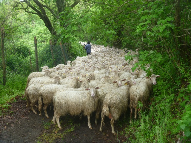 A herd of sheep blocked our path
