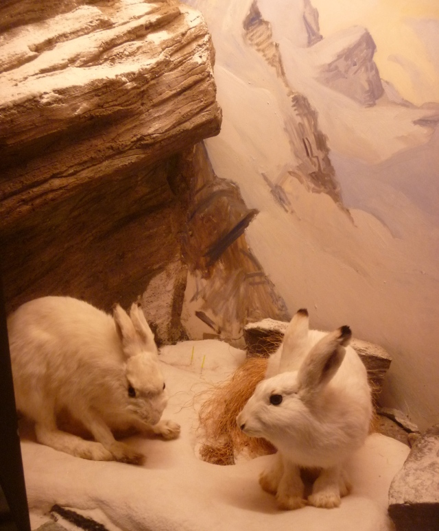 Mountain hares winter