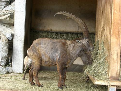 Ibex feeding