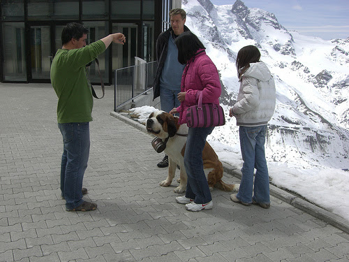 A St Bernard poses for the camera