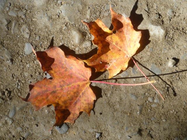 Maple leaves?