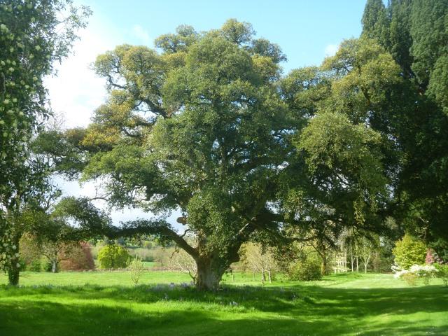 12The Cork Oak