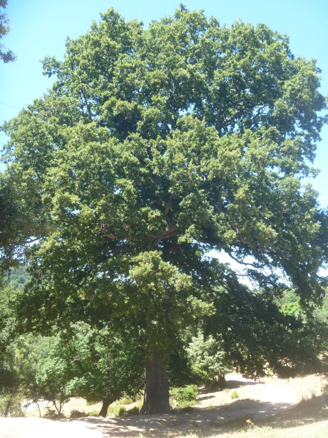 Turkish oak