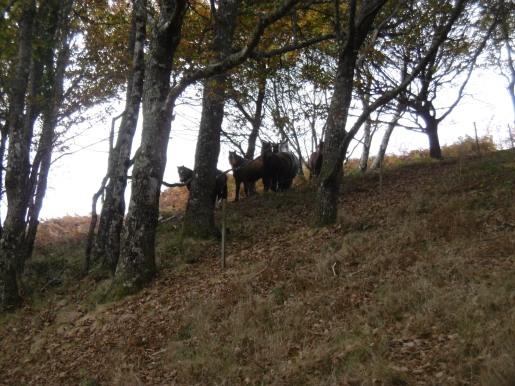 dartmoor-ponies