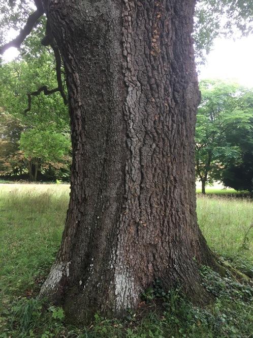 The oak bark